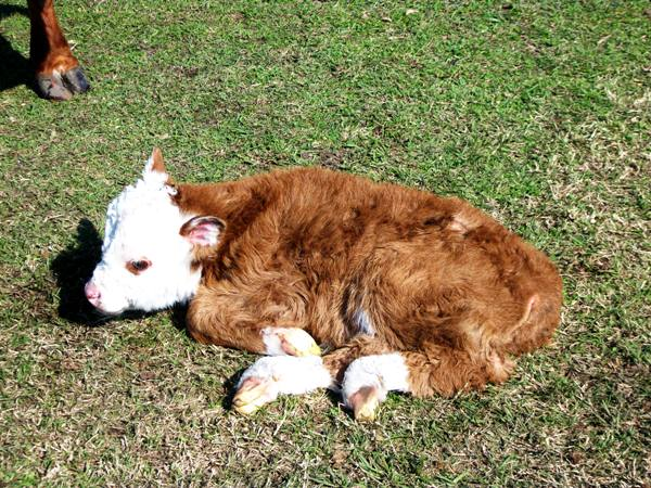 Registered Miniature Hereford Calf