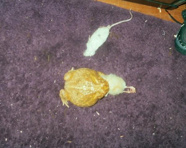 Alb pac man eatting chick