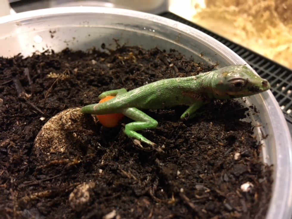 Knight Anole hatching
