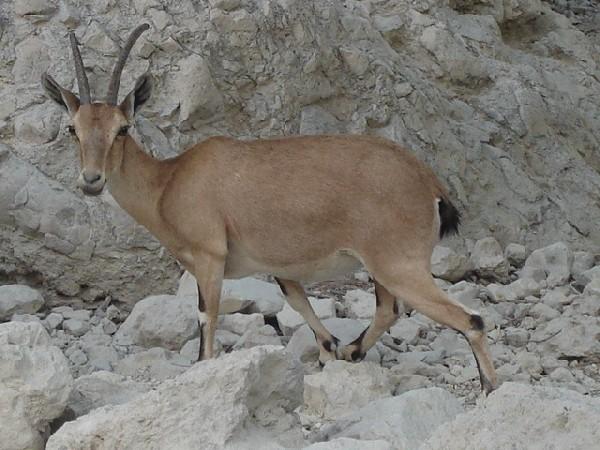 Adult Ibex