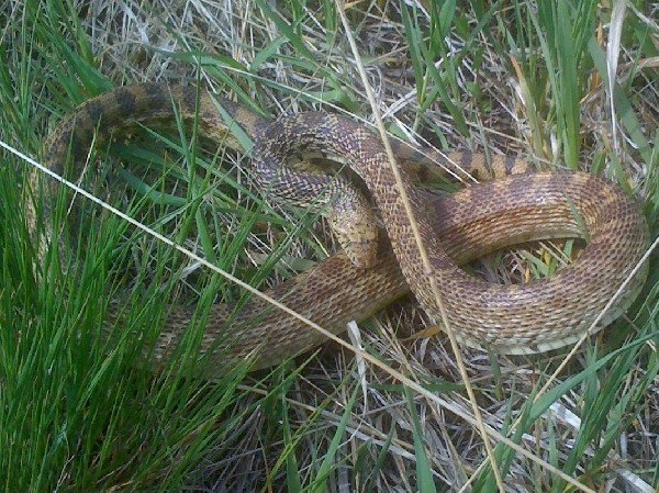 Bull Snake - Cherry Creek State Park, Colorado