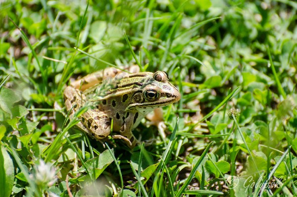 Leopard Frog, uploaded by kingsnake.com user PH FasDog