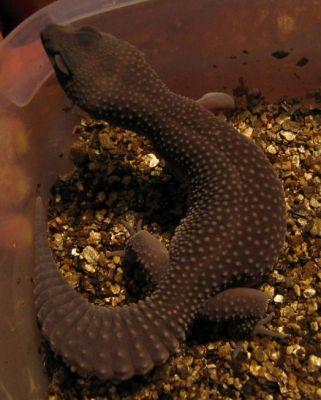 Baby midnight blizzard leopard gecko - photo#24