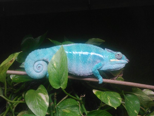 Panther Chameleon, uploaded by kingsnake.com user itsajeepthing