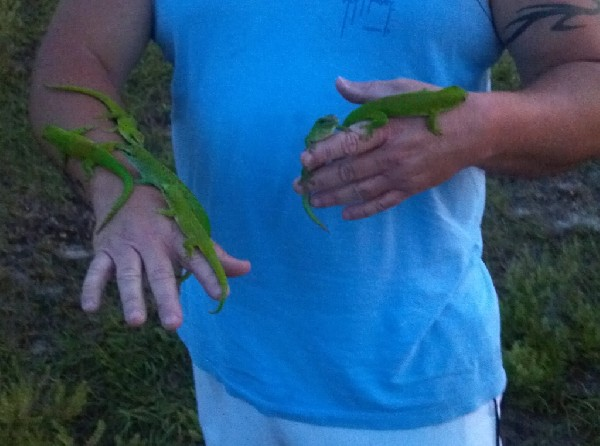 Tame Giant Day Geckos