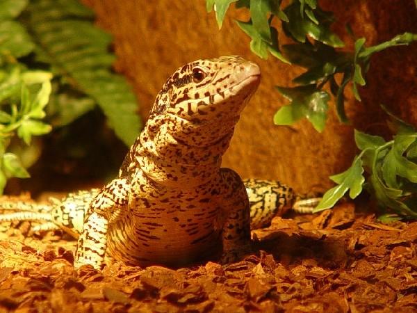 Tegu, uploaded by kingsnake.com user Scorps