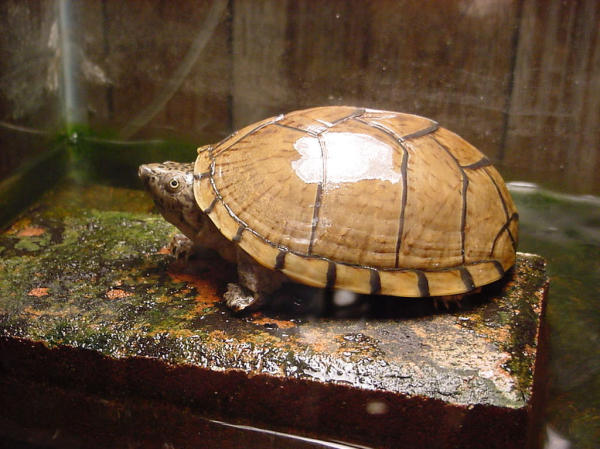 Razorback Musk Turtle, uploaded by kingsnake.com user Phil Peak