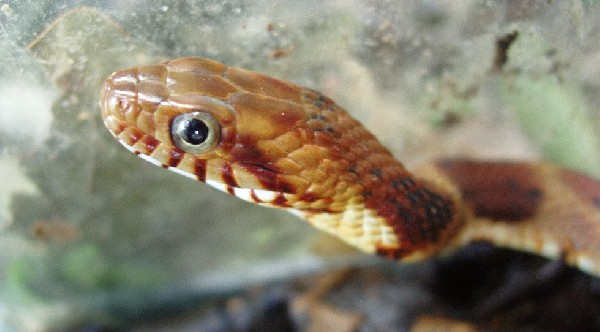 Banded Water Snake, uploaded by kingsnake.com user casichelydia