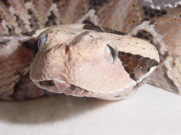 Gaboon Close-Up