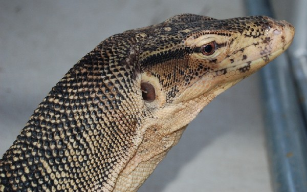 water monitor head shot