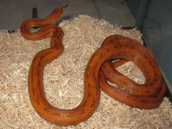Deckert's rat snake