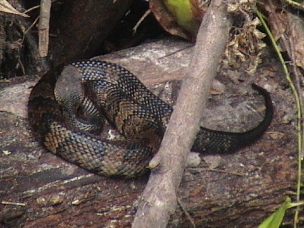cottonnmouth