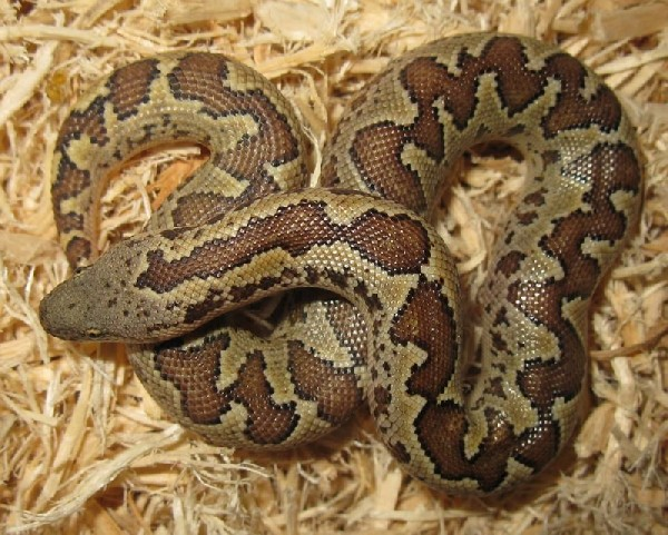 Sand Boa, uploaded by kingsnake.com user AlexNevgloski