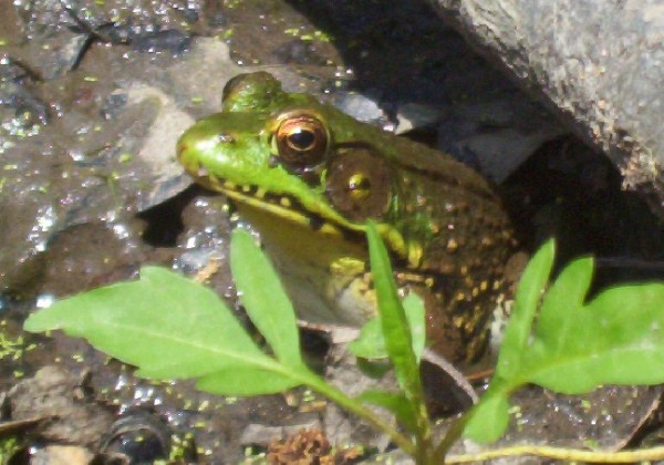 Green Frog 1