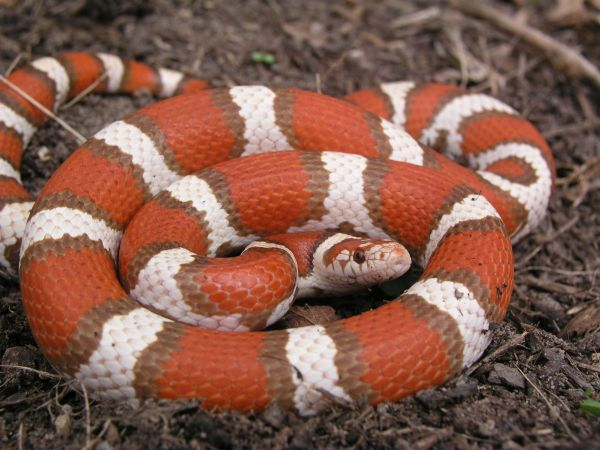 Milk Snake, uploaded by kingsnake.com user Tony D