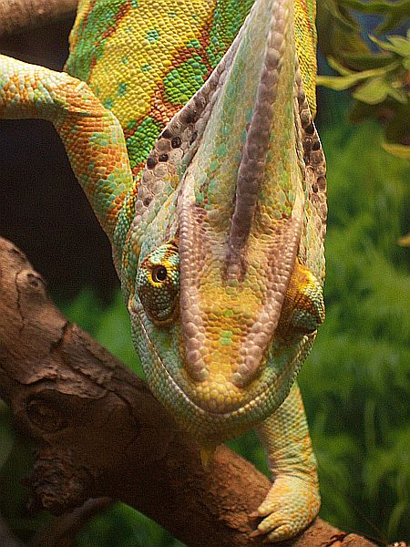 Chameleon, uploaded by kingsnake.com user BryanConroy19