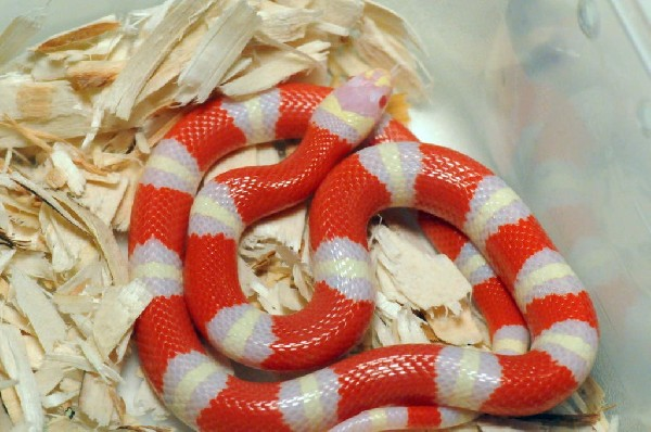 Albino Nelson's Milk Snake. Lampropeltis triangulum nelsoni