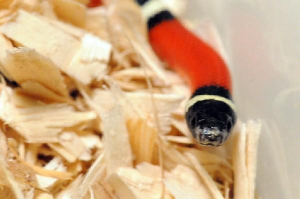 Albino Milk Snake. Lampropeltis triangulum nelsoni