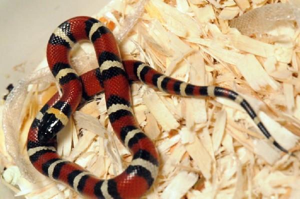 Mexican Milk Snake. Lampropeltis triangulum annulata