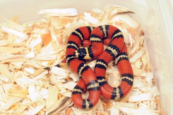 Atlantic Central American Milk Snake, Lampropeltis triangulum polyzona