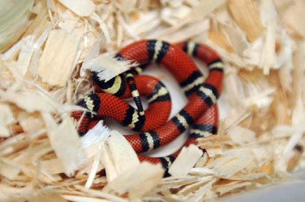 Conant's Milk Snake, Lampropeltis triangulum conanti