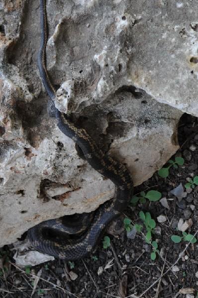 Texas rat snake (Elaphe obsoleta lindheimeri) - Williamson County Texas - 0