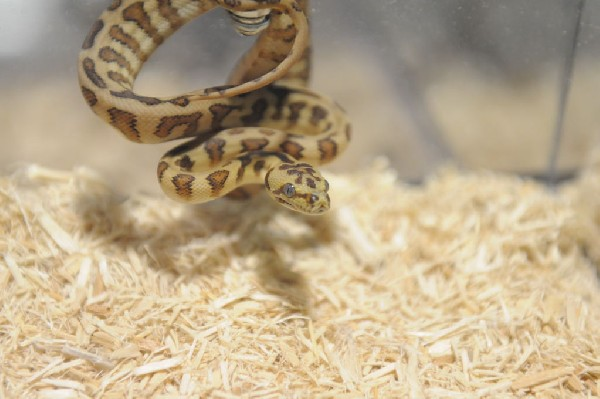 Kerry King's pythons at the Reptile Super Show