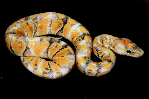 Ball Python, uploaded by kingsnake.com user KE