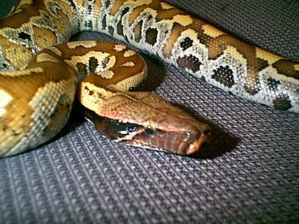 Photo: Blood Python Forum