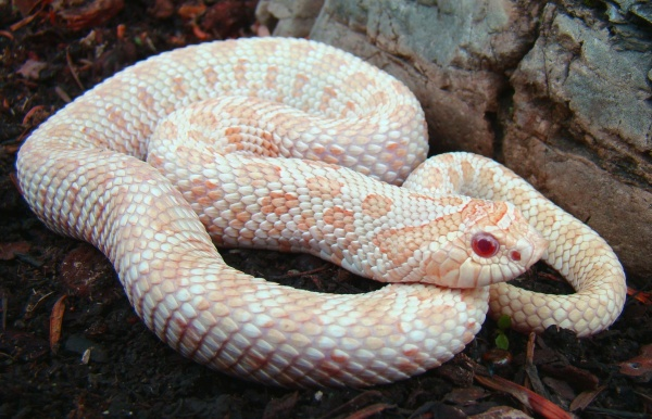 Albino Hognose, uploaded by kingsnake.com user steveperry