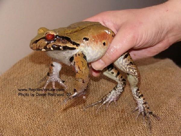 chicken frog
