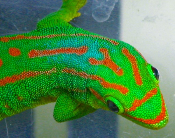 Day Gecko, uploaded by kingsnake.com user rmgarabedian