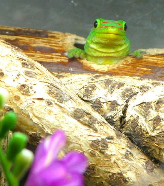 Day Gecko, uploaded by kingsnake.com user RMGARABEDIAN