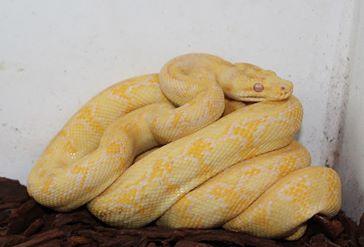 Albino DJJ Carpet Female