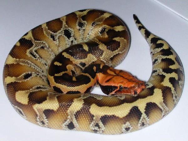红头纯血蟒[精图] - 蟒蛇 爬行天下