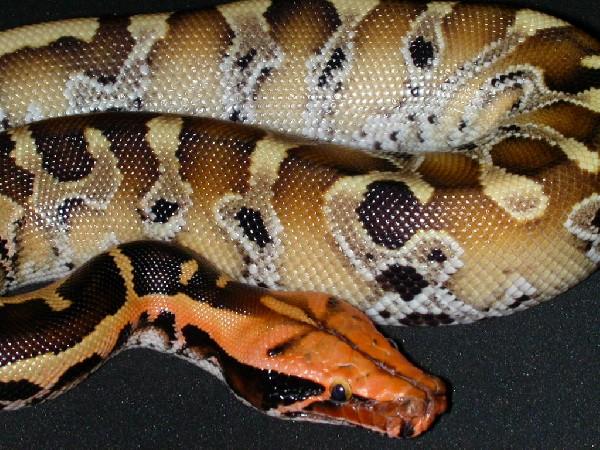 红头纯血蟒[精图] - 蟒蛇