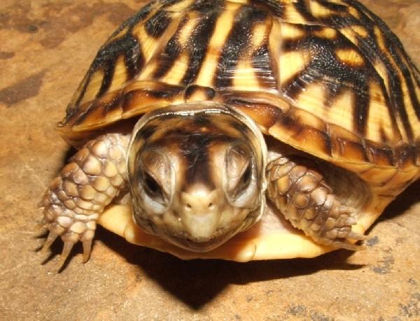 Desert Box turtle 2