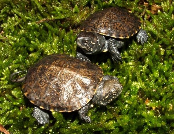 European Pond turtles