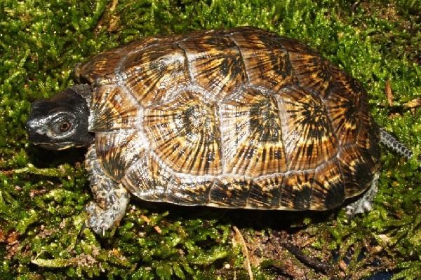NA Wood Female 1-2