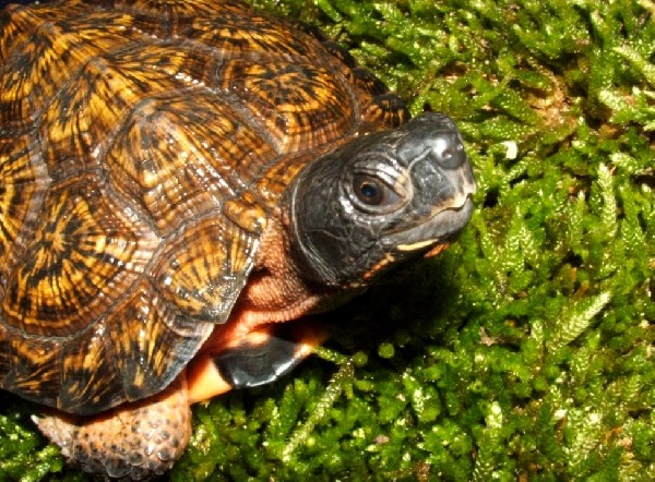 Wood Turtle, uploaded by kingsnake.com user kensopher