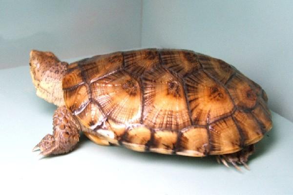 Juvenile Western Pond turtle 2