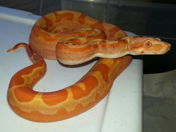 Sunglow Motley Female (Burke)