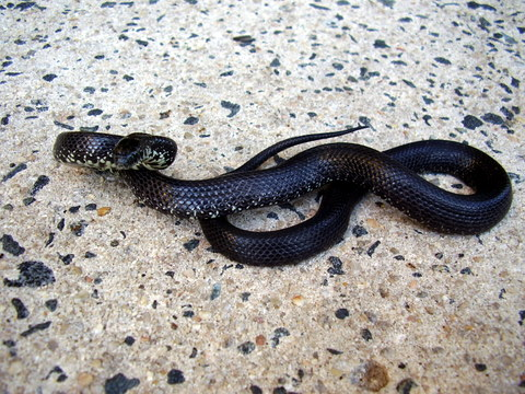 Yearling F Black E. Kingsnake, Todd Co, KY