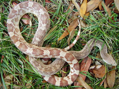 Southern Pinesnake- red phase
