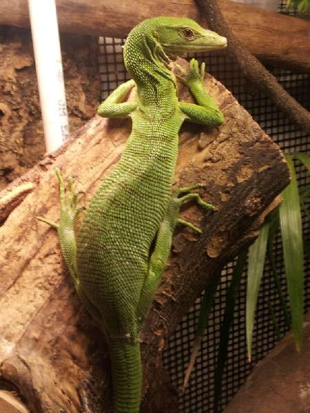 Female Green Tree Monitor