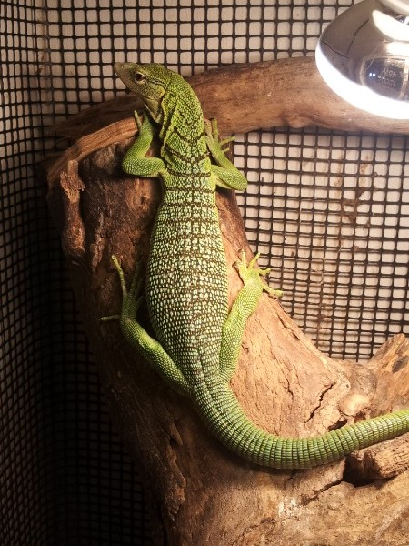 Male Green Tree Monitor