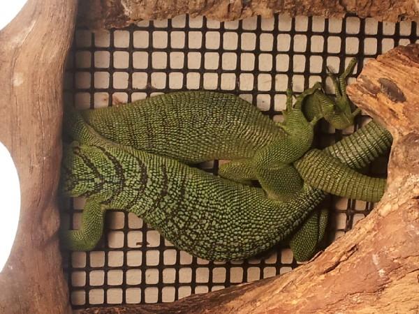 Green tree monitors mating