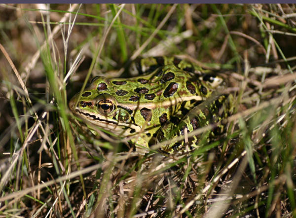 Leopard Frog, uploaded by kingsnake.com user Terry Cox