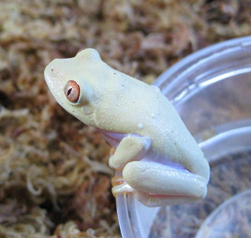 Albino redeyes 1 month old