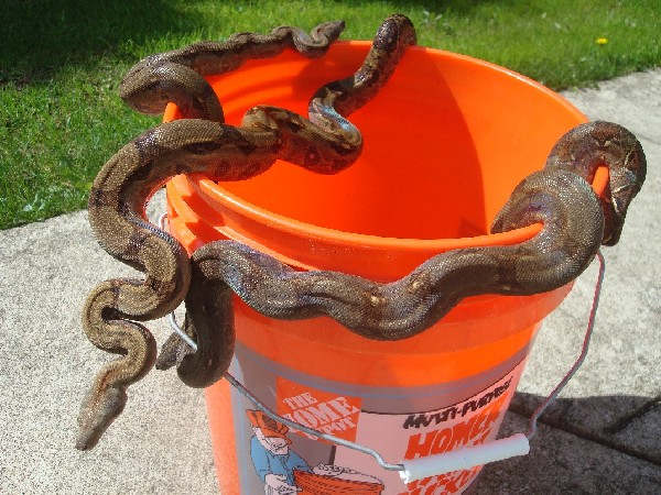 Bucket of Corn Island Boas